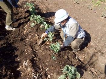 キャベツを植える.JPG