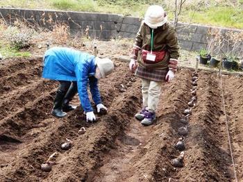 サトイモの植え付け.JPG
