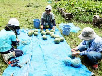 スイカの収穫.JPG