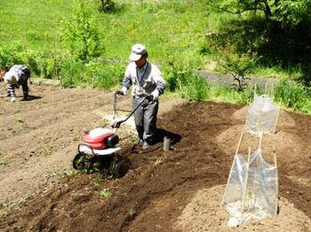 スイカの周囲を耕し刈り草を入れる.JPG