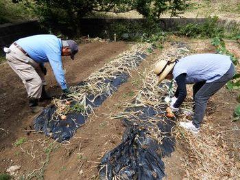 タマネギの収穫.JPG