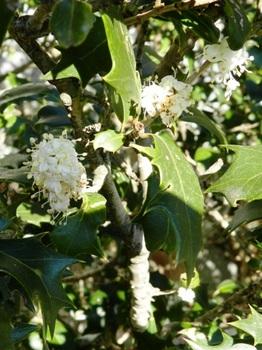 ヒイラギの花.JPG