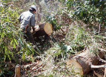 伐倒木の玉切り.JPG