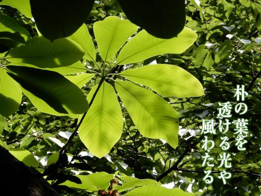 朴の葉を透ける光や風わたる_640.png