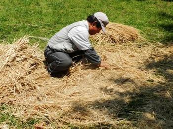 畳を分解して稲わらを取る.jpg