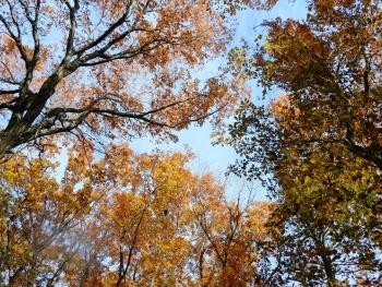見上げた黄葉と空.JPG