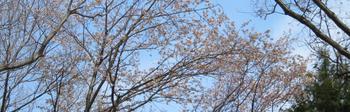 2017-04-03_sakura.png