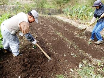 サツマイモの収穫.JPG