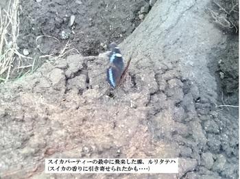 スイカパーティーの最中に飛来した蝶、ルリタテハ.jpg