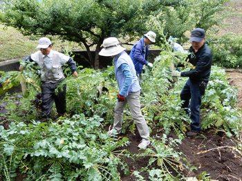 ダイコンの収穫.JPG
