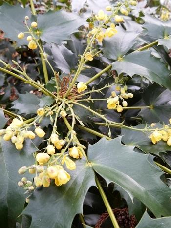 ヒイラギナンテンの花.JPG