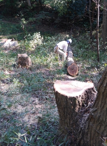 伐倒された木.JPG