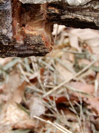 倒れたコナラから樹液が.JPG