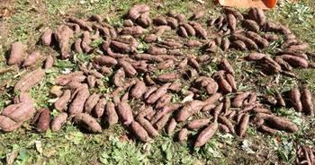 収穫されたサツマイモ.JPG