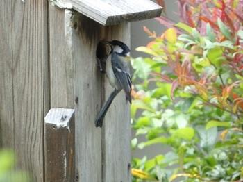 四十雀、巣箱の外から給餌出来るほどに雛が育っている 2.jpg