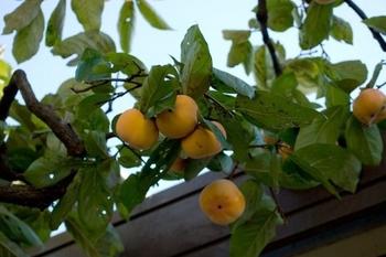 柿の木_2.jpg