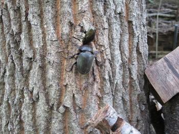樹液に群がるカブトムシ(メス)とコガネムシ.JPG
