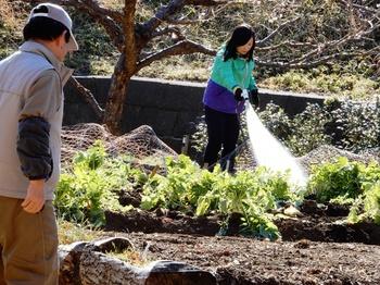 畑に施肥と潅水.JPG