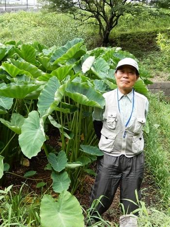 背丈より大きいサトイモ.JPG