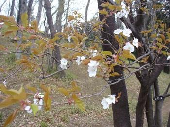 見ごろを迎えた山桜・下枝の花.jpg