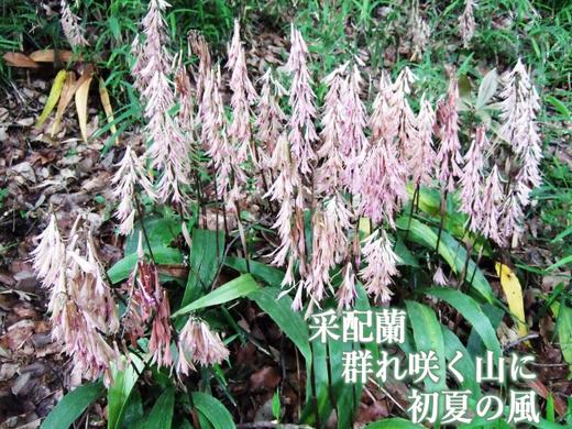 采配蘭群れ咲く山に初夏の風_512.png