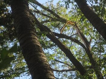 高所の枝折れ 2 R.jpg